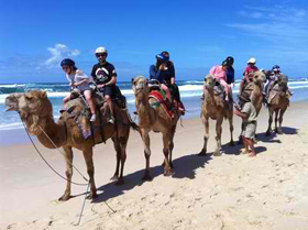 Camels on Lighthouse Beach